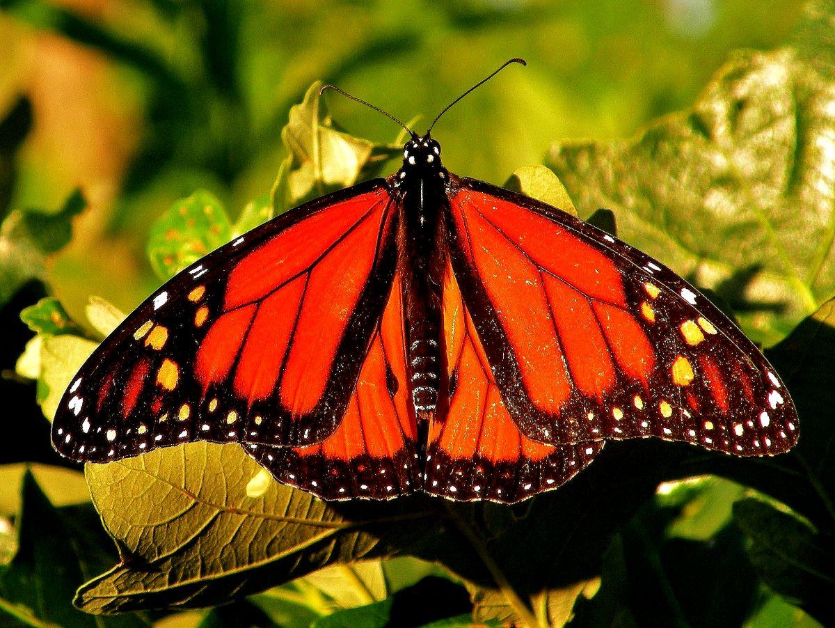 La mariposa monarca logra completar una travesía de 2,500 millas al año desde Canadá a Illinois y luego a Michoacán, México.