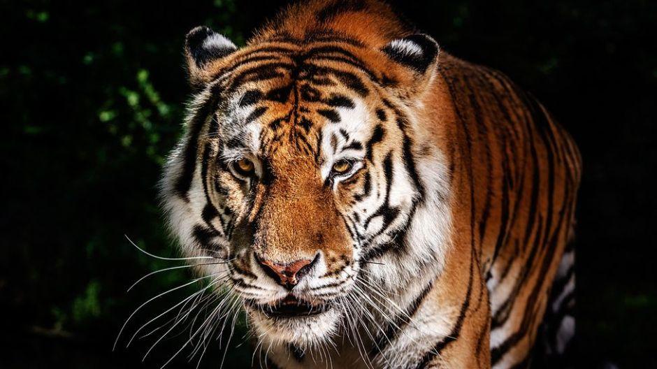 ¿Cómo es que el perfume Obsession de Calvin Klein ayuda a atrapar tigres?