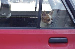 Nueva ley autoriza a bomberos y otras autoridades romper el vidrio de un auto para salvar a una mascota