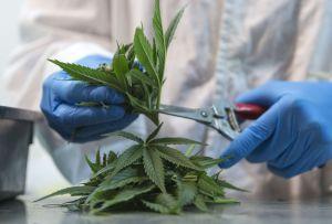 Un colegio comunitario de los suburbios de Chicago abre laboratorio para enseñar a estudiantes a cultivar marihuana