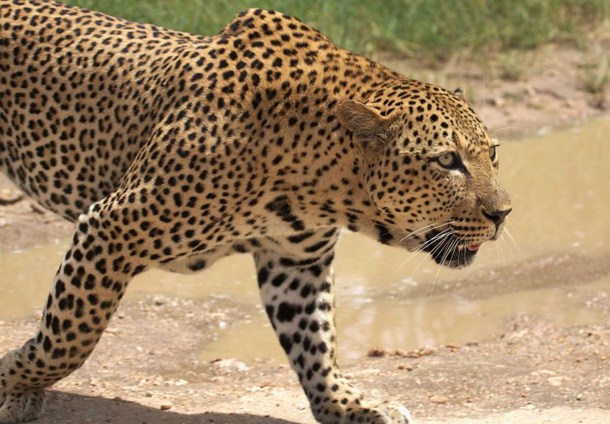 Leopardo africano,  cerca del lago Panic, Parque Nacional Kruger, Sudáfrica. 31 December 2013.