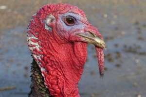 Algunos avicultores de Illinois están preocupados por la escasez de pavo antes del Día de Acción de Gracias