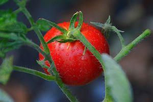 Cuáles son las verduras solanáceas, ¿son buenas o malas para ti?