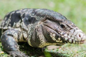 """Temen en Georgia invasión de lagarto argentino tegus; parecen """"cocodrilos bebés"""""""