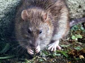 Califican nuevamente a Chicago como la ciudad con más ratas en Estados Unidos, según Orkin
