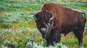 Finge estar muerta para evitar ser atacada por un bisonte en Yellowstone