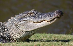 Un cocodrilo frente al elevador: cómo los vecinos de un edificio en Florida quedaron atrapados