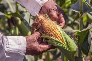 Conoce los usos mágicos del maíz y su significado espiritual