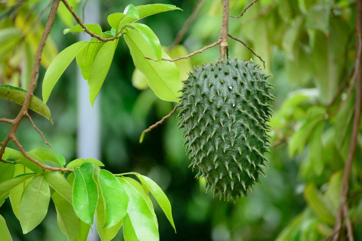 La guanábana es una fruta que se relaciona con grandes beneficios para fortalecer al sistema inmunológico, es baja en calorías y muy rica en vitaminas, minerales y antioxidantes.