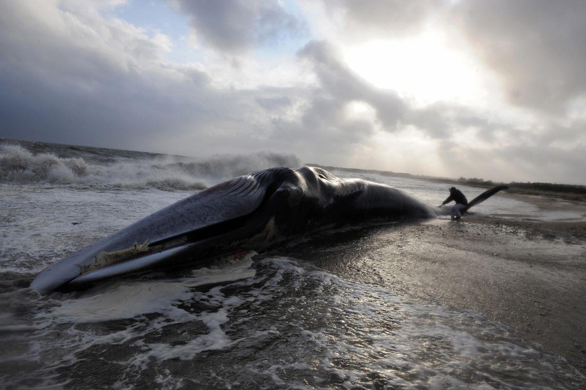 El peso de la ballena muerta equivale al de casi 800 personas   Crédito: Getty Images